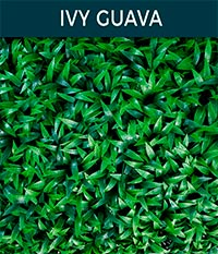 ivy guava - Ivy wall | Top Turf Artificial Grass